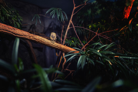 Cute Pygmy Marmoset in the forrest