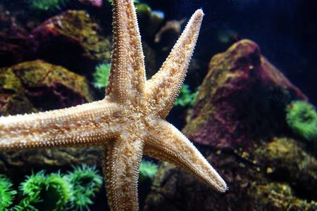 Starfish or sea stars in aquarium in portugal