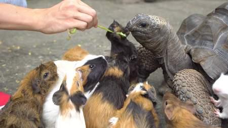 masticate: Close up of female hand feeding turtle and guinea pigs