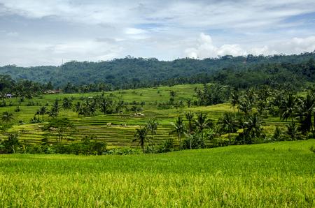 extensive: extensive rice terraces