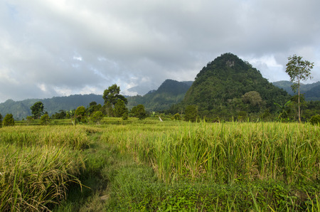 yellowing: rice fields on the mountains and yellowing