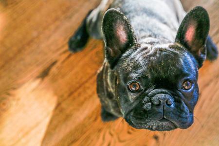 French Bulldog posing Stock Photo