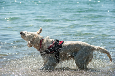 Lifeguard dog with harness shake off water after swim Stock Photo