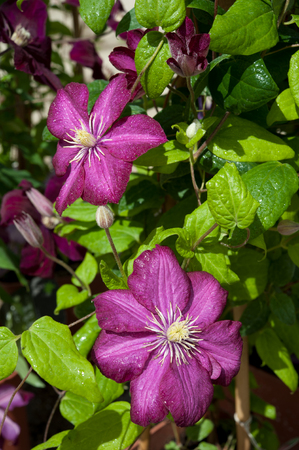 velours: The purple flowers of the clematis viticella Royal Velours Stock Photo
