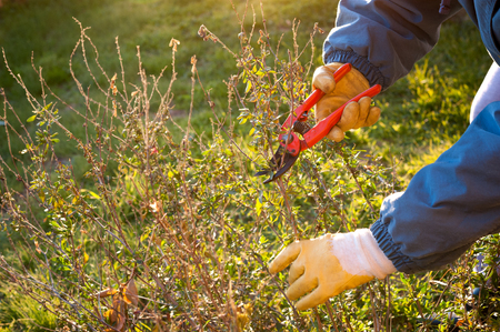 sever: Pruning the plant in the garden Stock Photo