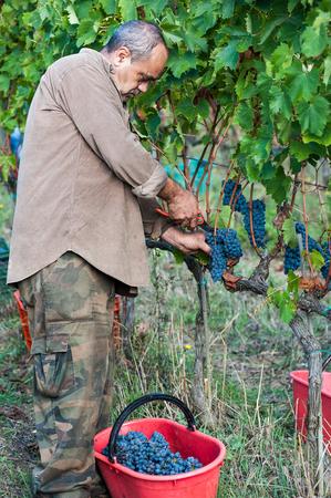 Grape harvest in Tuscany, Italy