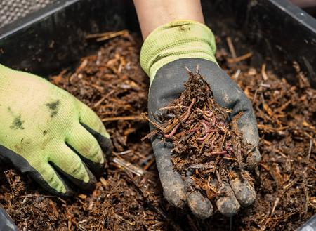 De wormcompostering is een geweldige meststof Stockfoto
