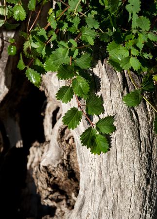 carminative: Pimpinella plants on a trunk Stock Photo