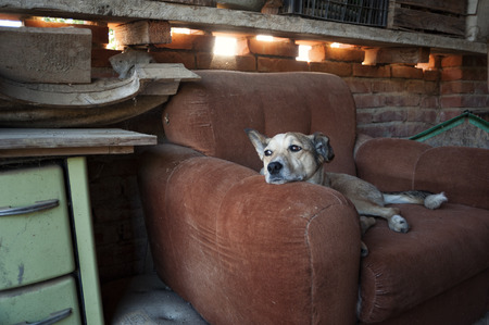 the dog dozes in his armchair, hearing sounds and glancing away