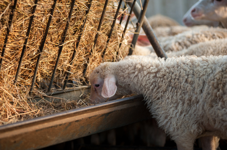 sheepfold: A lamb in the sheepfold, eating hay from the manger Stock Photo