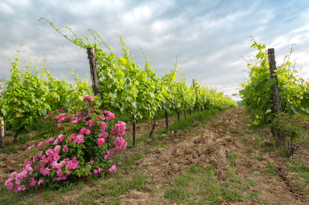 Bushes of roses in the vineyard: an ancient cultivation method for monitoring plant health and prevent the development of pests and diseases.