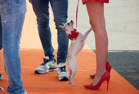 Fashionable woman with red high heels, holds her little white dog Chihuahua on a leash.
