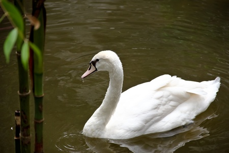 ruffling: White Goose Stock Photo