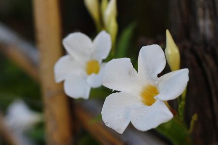 ascetic: White flower