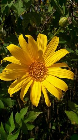 animalitos tiernos: Flores amarillo llamado el loto La planta de Tailandia Mae Hong Son Province