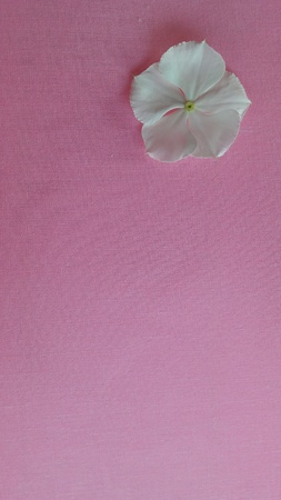 white: White flowers on a pink background. Stock Photo