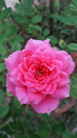 papaya flower: Pink roses