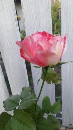 frail: Pink roses
