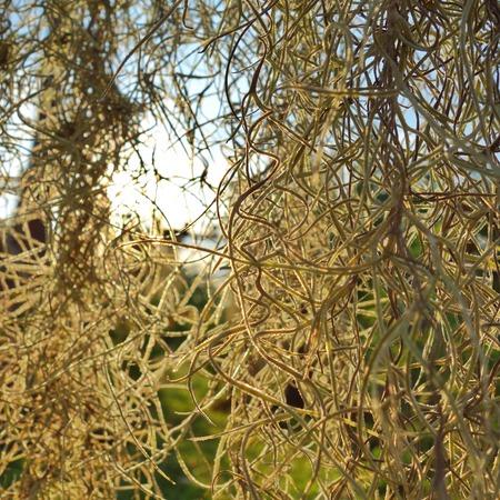 tillandsia: Spanish Moss  Tillandsia usneoides  sunlight