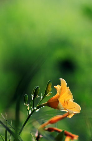 day lily: Day lily