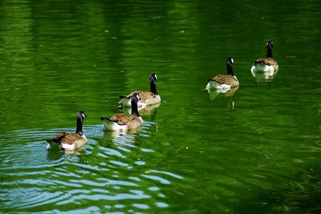 waterfowl: Lake waterfowl Stock Photo