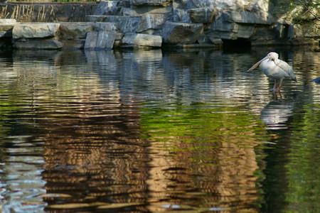 waterfowl: Lake Habitat of waterfowl