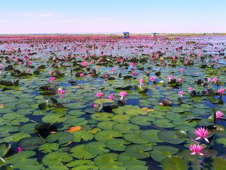 Red Lotus Sea (Nong Han Kumphawapi Lake), Located in Udon Thani, Thailand
