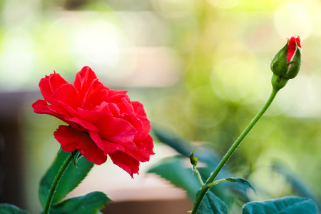 Close up of red rose in bokeh background Imagens