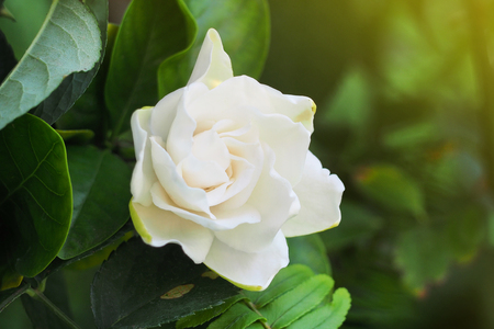 Gardenia Flower (Gardenia jasminoides) Beautiful in morning Stock Photo