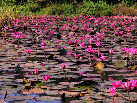 Red Lotus field Located Thailand