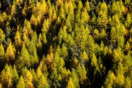 divergence: Nice light and shadow of autumn green and yellow pine trees in the mountain forest near Matterhorn , Zermatt , Switzerland