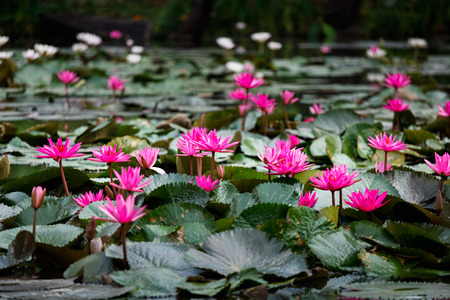 Blossom pink lotuses or water lily, which is symbolic of purity of the body, speech, and mind, in Buddhism, in pond