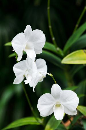 Close up shot of tropical white orchid on a natural green background in the garden Stock Photo