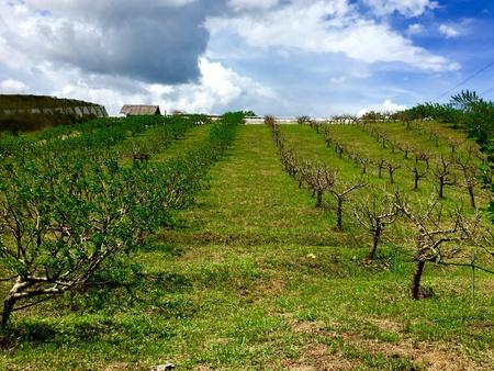 tree farming: An organic farm of mulberry in Malaysia