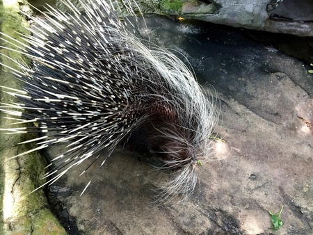 isolated: Porcupine in a Zoo in Malaysia Stock Photo