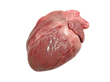 heart organ: Pig heart isolated on a white background.