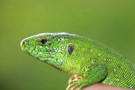 Green lizard in a hand taken closeup against green background. photo