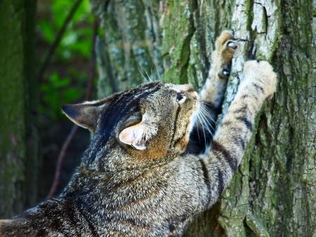 clawing: Grigio gatto soriano affilare gli artigli su un albero.
