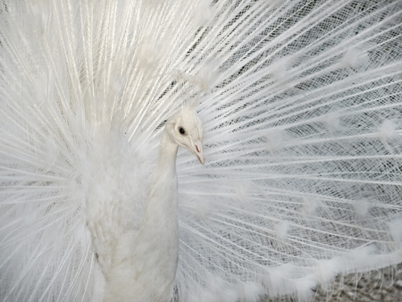 peahen: White peacock with fan tail taken closeup.