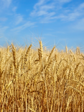 Wheat ears on field against blue sky   photo