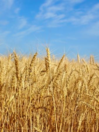 Wheat ears on field against blue sky Stock Photo - 20481968