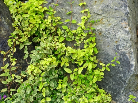 Green ivy on a grey stone taken closeup  photo