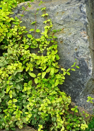 Green ivy partially covering a grey stone rock  photo