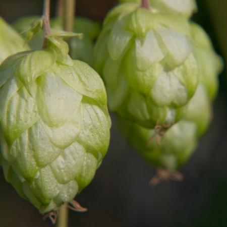 hop cone: Ripe green hop cone taken closeup.Beer production. Stock Photo