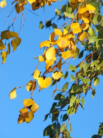 betula pendula: Yellow and green leaves of silver birch against blue sky