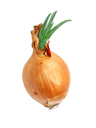 sprouted: Sprouted onion isolated on white background.