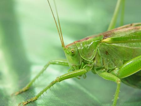 Green locust taken closeup. photo