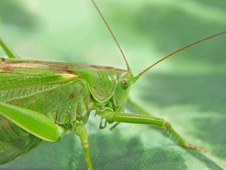 Locust taken closeup on green background. photo