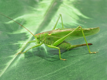Locust taken closeup on green. photo