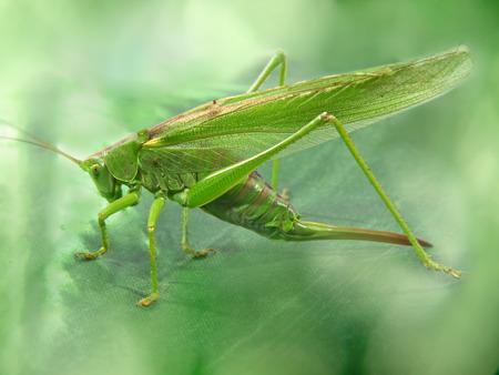Big green locust taken closeup on green blurry background. photo